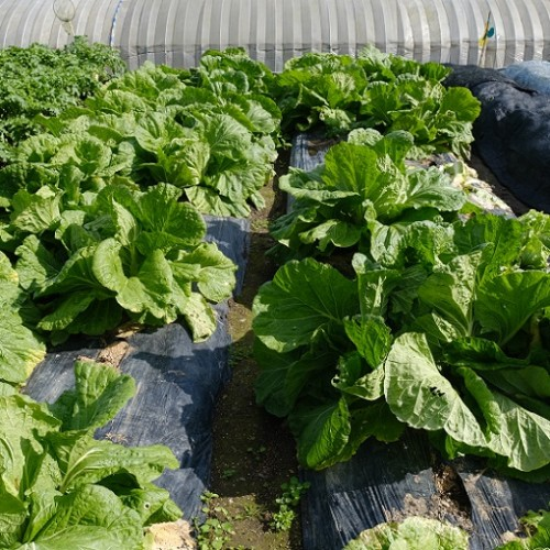 自家製野菜畑の写真