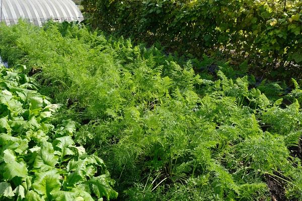 10月末の春菊の栽培状況写真