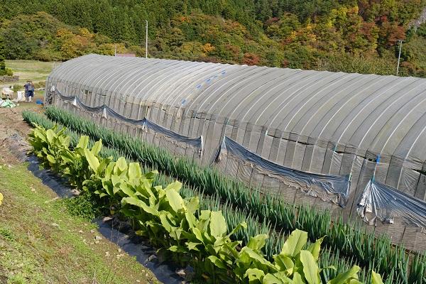 ウコンとねぎの栽培状況の写真