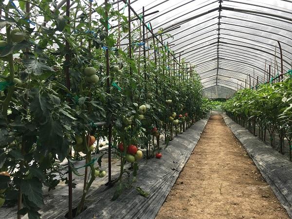 ハウス内のトマトの栽培状況の写真