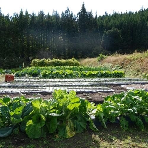 10月の畑の野菜栽培の様子の写真