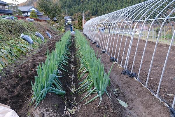 自家製野菜畑のねぎの栽培風景の写真