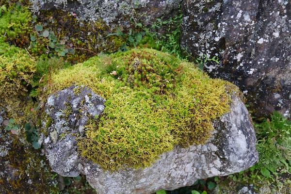 岩に張り付いたきれいなコケ