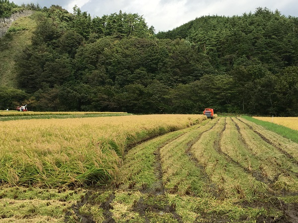 秋の稲刈りの写真