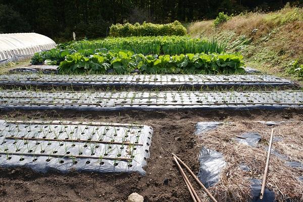 蕾菜とレタスを植える前の大根や白菜の栽培風景の写真