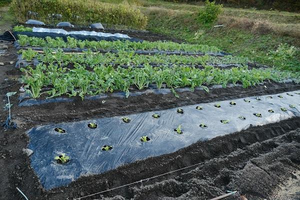 つぼみなとレタスを植えた写真