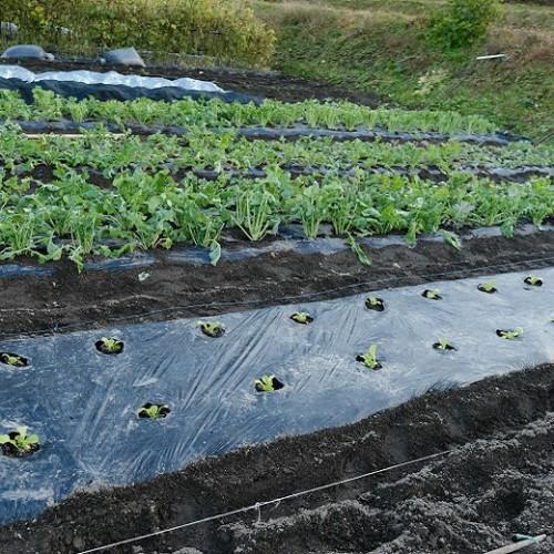 つぼみ菜を植えた写真