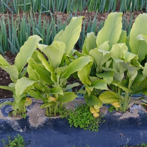ウコンの栽培の写真