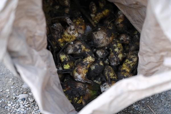 秋ウコンを収穫して袋に入れた写真