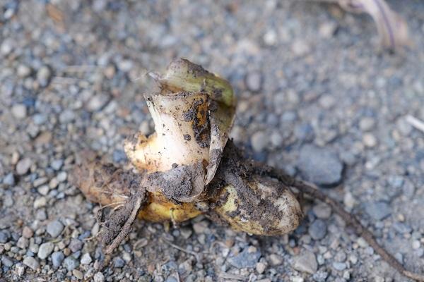 ウコンの一個の写真