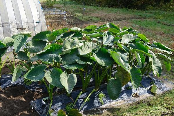 秋野菜 里芋畑の風景写真