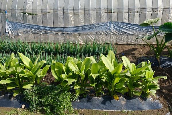 ウコンの栽培状況の写真