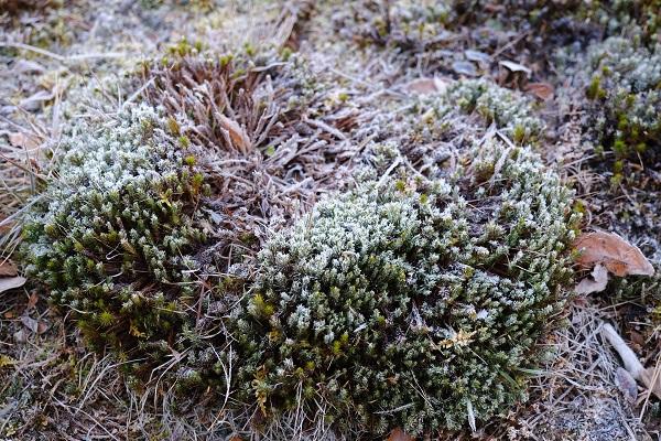 霜に覆われたスギゴケの写真