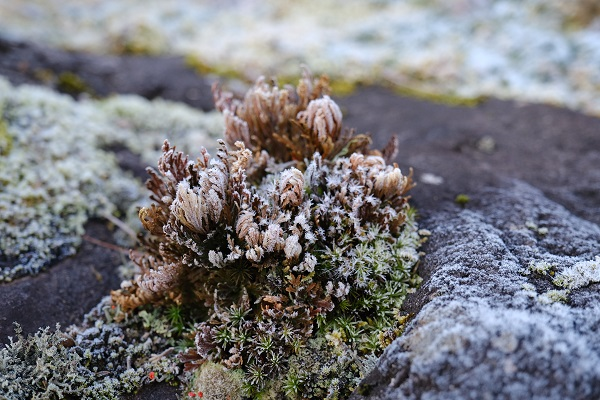 霜に覆われたイワヒバの写真