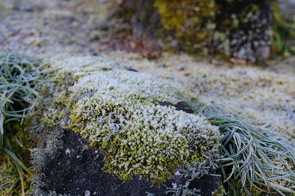 庭石に張り付いた苔に霜がついた写真