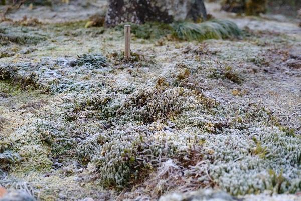 一面霜で覆われたスギゴケ