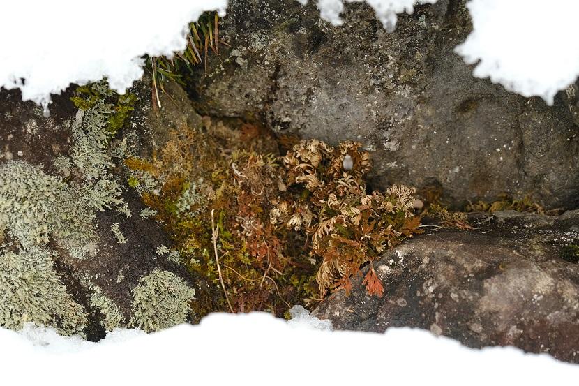 冬のイワヒバと苔の雪の中の写真